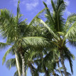 Royalty-Free Stock Photo: Blue sky Palms