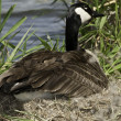 Stock Photo: CanadGeese on nest