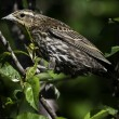 Stock Photo: Female redwing black bird.
