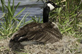 Canada Geese on nest — Stock Photo