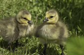 Baby Canada Geese — Stock Photo