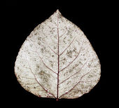 Aspen leaf — Stock Photo