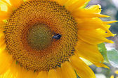 Sunflower and a bumblebee — Stock Photo