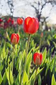 тюльпаны, освещенном солнцем — Стоковое фото