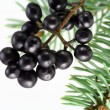 Black wood berries and fur-tree needles — Stock Photo