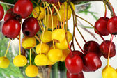 Red and yellow wood berries — Stock Photo