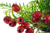 Berries of a wood hawthorn — Stock Photo