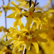 Forsythia MALUCH yellow flowers — Stock Photo