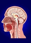 Anatomie tête humaine — Vecteur