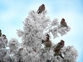 A flock of waxwings — Stock Photo