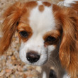 Cavalier Kin Charles Spaniel Looking - Stock Photo