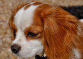 Cavalier Kin Charles Spaniel Outside — Stock Photo