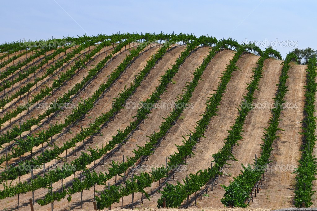 Beautiful Hill full of Grape Vines in California's wine country. — Stock Photo #2666996