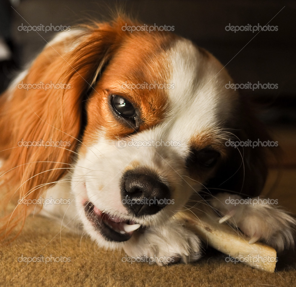 Cavalier King Charles Dog chewing on a bone with a glazed look on her face. — Stock Photo #2667124