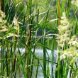 Swamp grass — Stock Photo