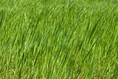 Green grass — Foto de Stock
