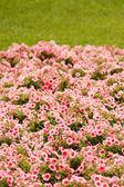 草の花 — ストック写真