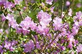 Blossom japan barberry — Stock Photo
