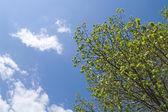Tree crown on blue sky — Stock Photo