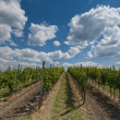 VINEYARDS IN GERMANY — ストック写真