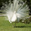Isolbella, white peacock — Stockfoto #2655366