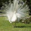 Isolbella, white peacock — Stock Photo #2655366