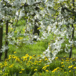 WHITE BLOSSOM IN COUNTRYSIDE — Stockfoto