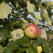 Apple tree — Lizenzfreies Foto