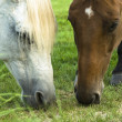 Two horses, one white and one brown grassing on — 图库照片