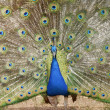 Blue peacock — Stock Photo #2655946
