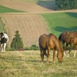 HORSES GRAZING IN A FIELD — Stockfoto