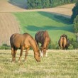 Stockfoto: HORSES GRAZING IN FIELD