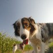 Field work with brittany spaniel - Stock Photo