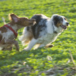 Stock Photo: Two dogs running on field
