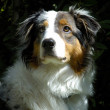 Young Australian Sheppard Dog — Stockfoto