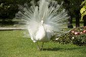 Isola bella, bianca pavone — Foto Stock