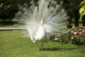 Isola bella, white peacock — Stock Photo