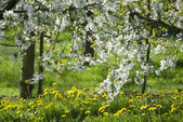 WHITE BLOSSOM IN COUNTRYSIDE — Stock Photo