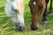 Twee paarden, een witte en een bruin grassing op — Stockfoto