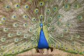 Niebieski paw — Zdjęcie stockowe