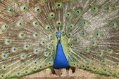 Blue peacock — Stock Photo