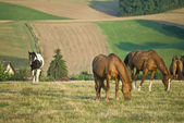 HORSES GRAZING IN A FIELD — Стоковое фото