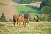 HORSES GRAZING IN A FIELD — 图库照片