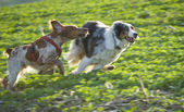 Two dogs running on the field — Stock Photo