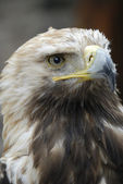 Eagle Head — Stockfoto