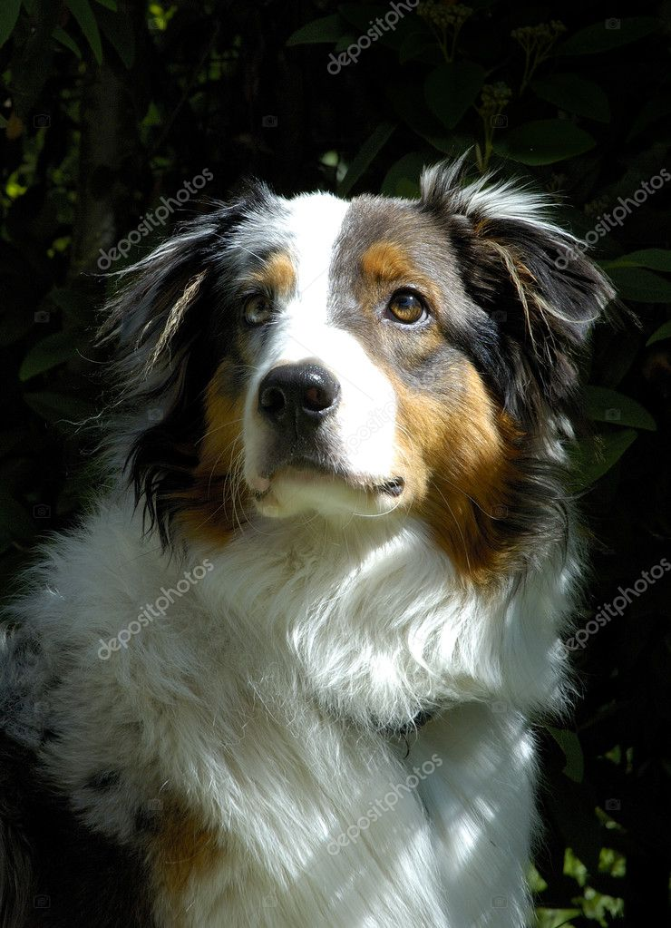 Young Australian Sheppard Dog  Stock Photo #2655996