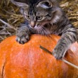 Kitten on a pumpkin - Stock Photo