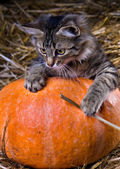 Kitten on a pumpkin — Stock Photo