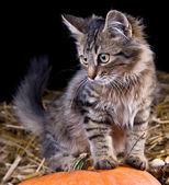 Kitten on a pumpkin — Stock Photo