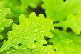 Młody dąb zielony liści w lesie — Zdjęcie stockowe